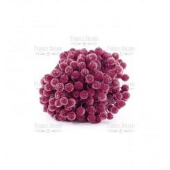Bayas de azúcar de viburnum color burdeos